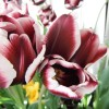 Turkey And Tulips 3